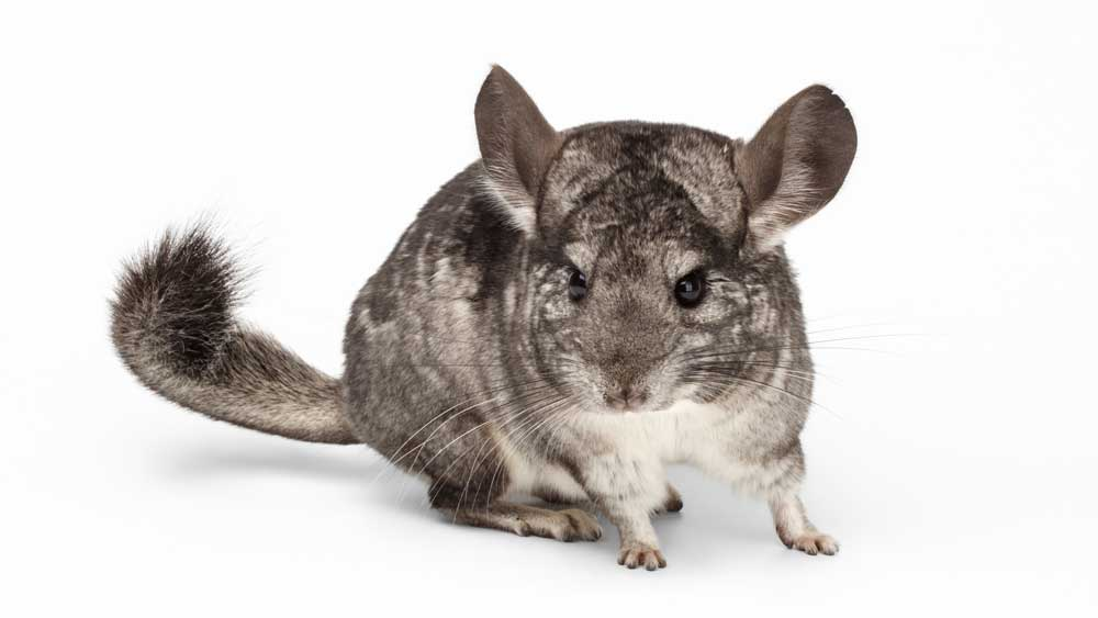 Chinchillas are used as models to study middle ear infections, which commonly plague infants and children.