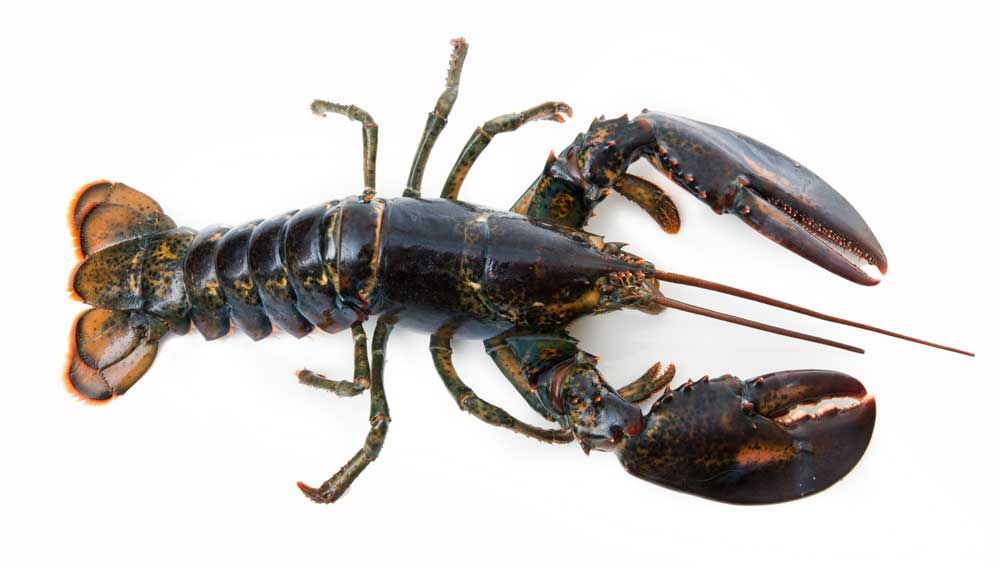 Lobsters are used to study syphilis, Parkinson's disease and Huntington's Choreas, all motor coordination diseases.