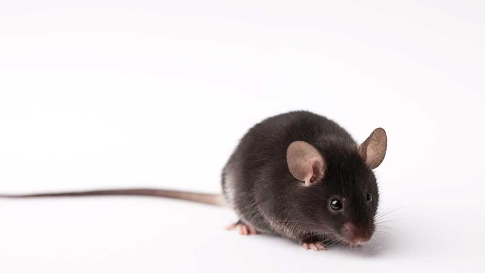 95% of all animals needed for research in the U.S. are rodents. Scientists can breed different strains of mice with natural genetic deficiencies to achieve specific models of human diseases. Scientists can also breed mice to address specific diseases.